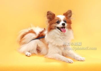 パピヨン 甘えん坊ペットちゃん ペットは家族の一員です