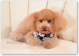 トイプードル,ペット 犬写真