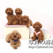 ペット写真撮影,ペット写真館は東京,トイプードル兄弟ちゃん。