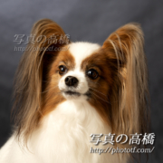 おしゃれでおすましね!犬種パピヨン